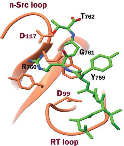 Src SH3 domain complex with integrin
